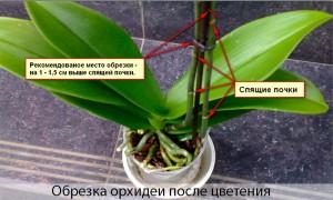 как обрезать орхидею