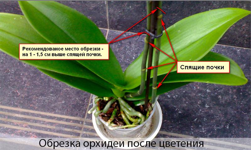 Орхидея цветение в домашних условиях фото