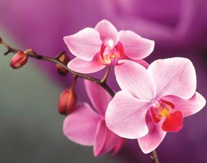 как поливать орхидею правильно и не загубить цветок