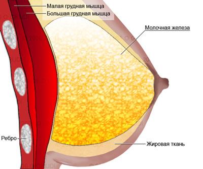 структура  мышц груди у женщин