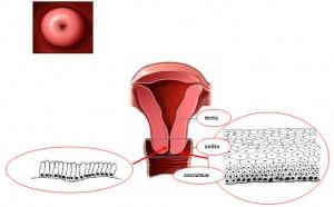 физиология шейки матки