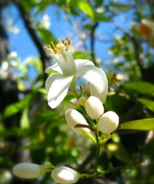 цветок нероли