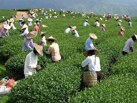 сборка чая Те Гуань Инь