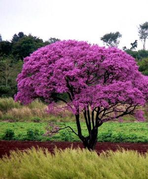 дерево Лапачо