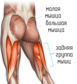 анатомия ягодиц