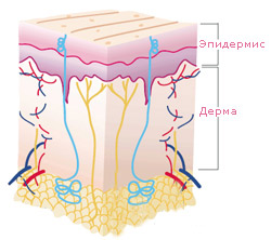 строение кожи схема