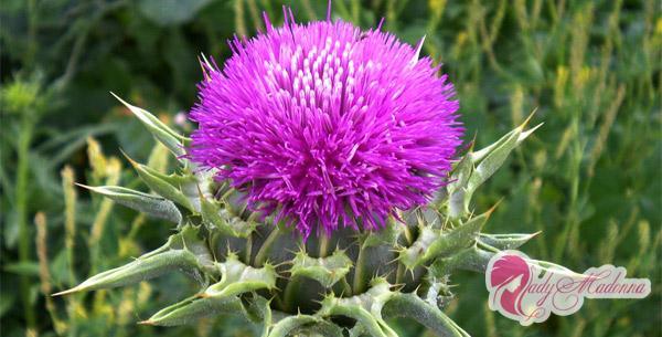 расторопша пятнистая цветок
